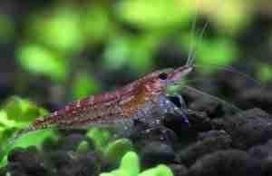 Male cherry shrimp in a planted aquarium