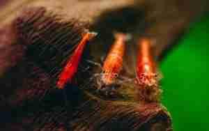 Breeding Cherry Shrimp