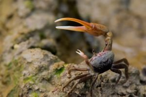 A fiddler crab holding up its claws guarding his heap of mud. Also known as calling crab. (urca)