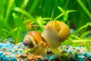 View of the two snails Ampularia a home freshwater aquarium