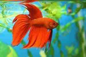 betta fish adjusting to new tank