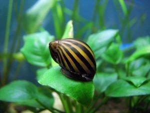 How Many Nerite Snails Per Gallon?