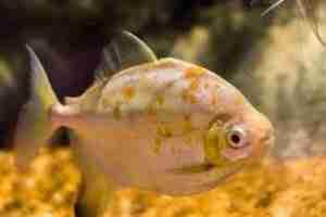 red hook silver dollar fish