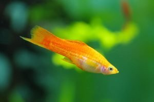how many swordtail platy in a 10 gallon tank