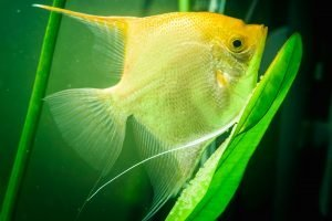 how to tell if angelfish eggs are fertilized
