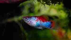 blue-red platy