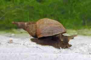 Pond Snails Vs Bladder Snails