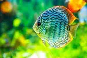 freshwater predator fish