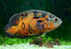 most aggressive aquarium fish