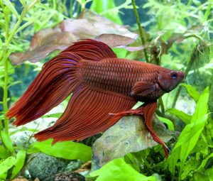 can betta fish die from popeye
