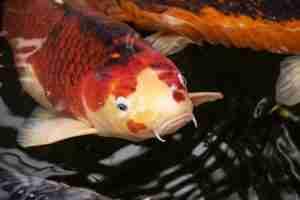 koi fish size chart