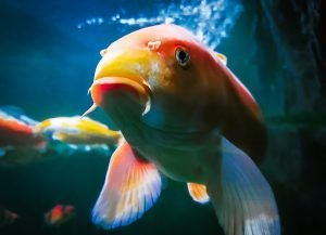how long do koi fish live in a tank