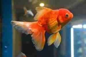 will a betta fish kill a goldfish?