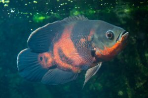 what other fish can live with cichlids