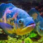 Types Of Cichlids That Can Live Together