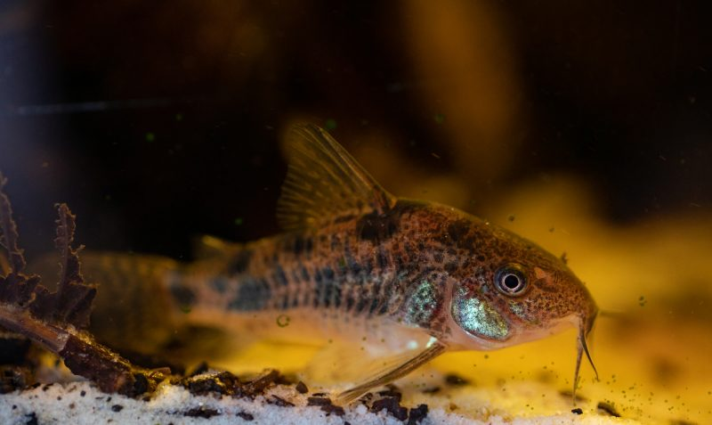 how to lower pH in an aquarium with vinegar