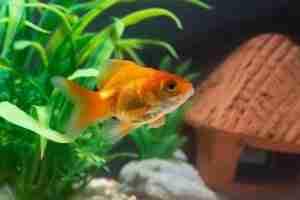 Gold fish or goldfish floating swimming underwater in fresh aqua