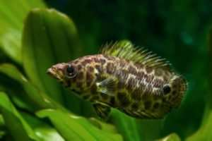 best cichlids for beginners