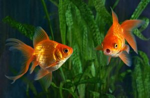 how long can a goldfish survive with no food