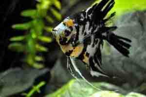 angelfish cichlid