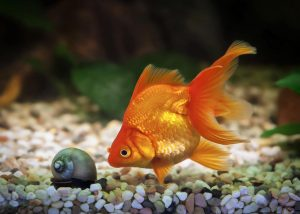 How Long Can A Goldfish Go Without Food?